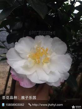 茶梅品种:雅子乐园