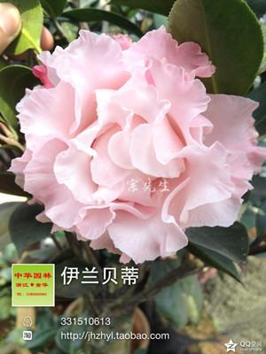 茶花品种-依莲贝蒂-伊兰贝蒂