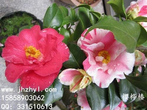 茶花品种—樱桦椿