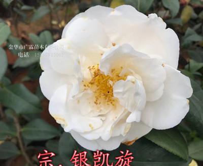 白色茶花品种:银凯旋