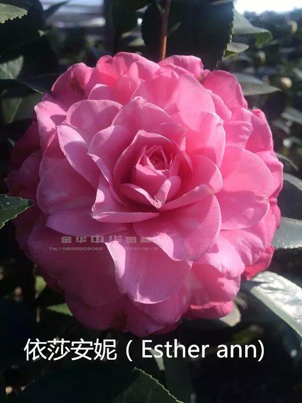 茶花品种-依莎安妮-Esther ann