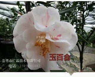茶花-玉百合2