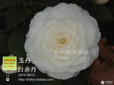 茶花品种-玉丹 -白赤丹