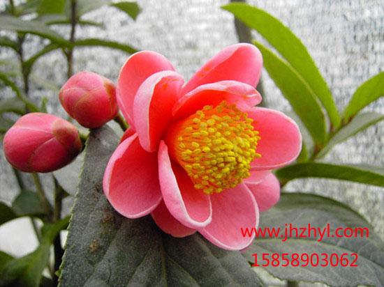 茶花-越南抱茎茶