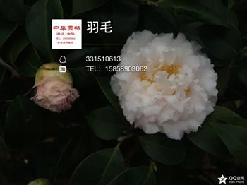 茶花品种-羽毛