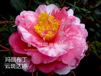茶花品种-玛丽布丁-云斑达婷