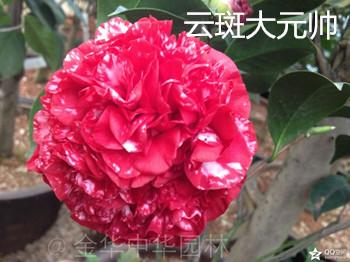 茶花品种-云斑大元帅-斑格兰马歇尔