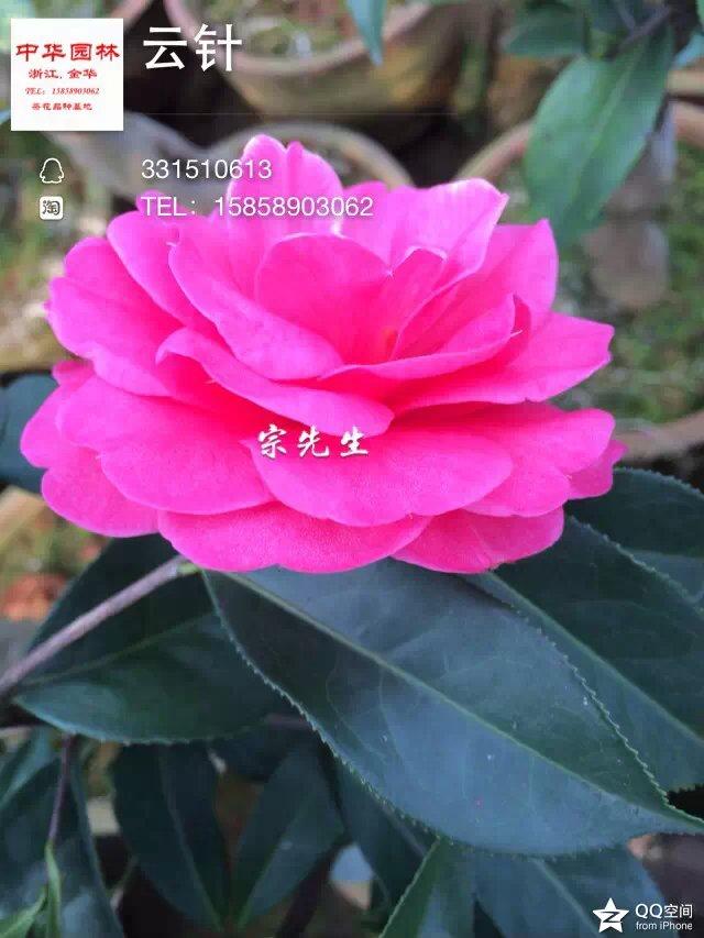 茶花品种-云针-云南茶花