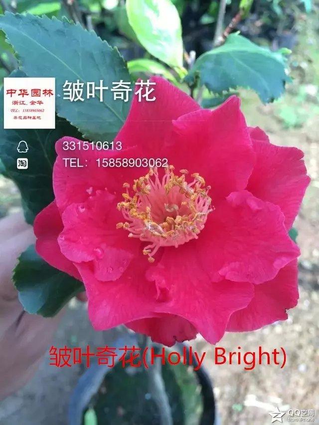 茶花品种-皱叶奇花-Holly Bright