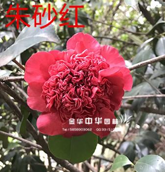 茶花品种:朱砂红