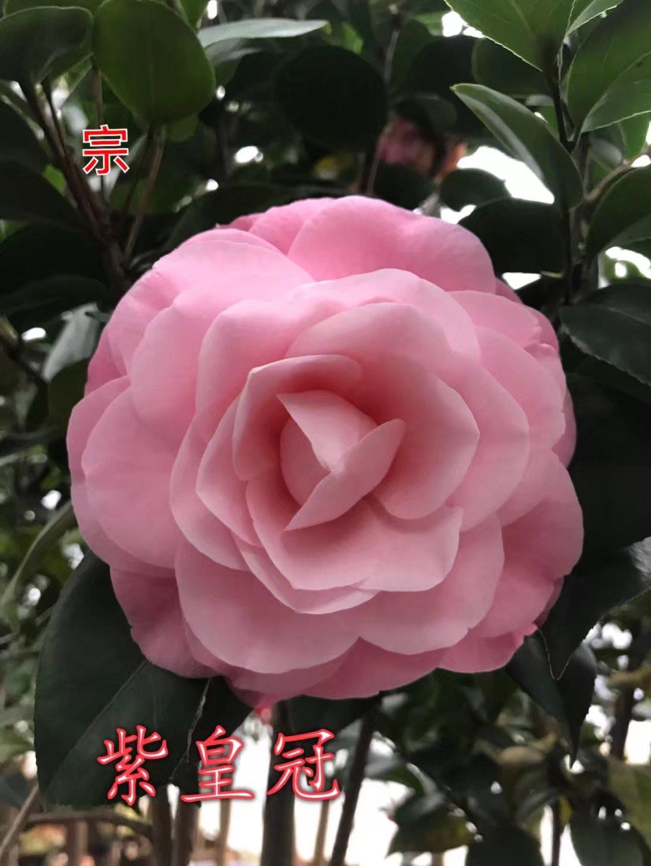 茶花紫皇冠