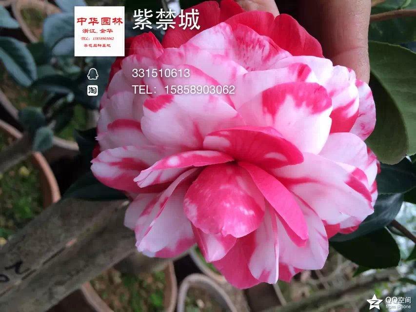 茶花品种-紫禁城(斑) 复色