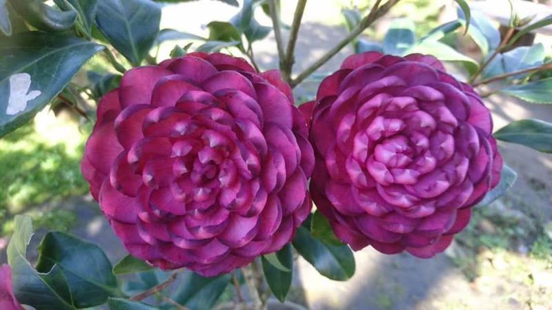 茶花-紫螺旋