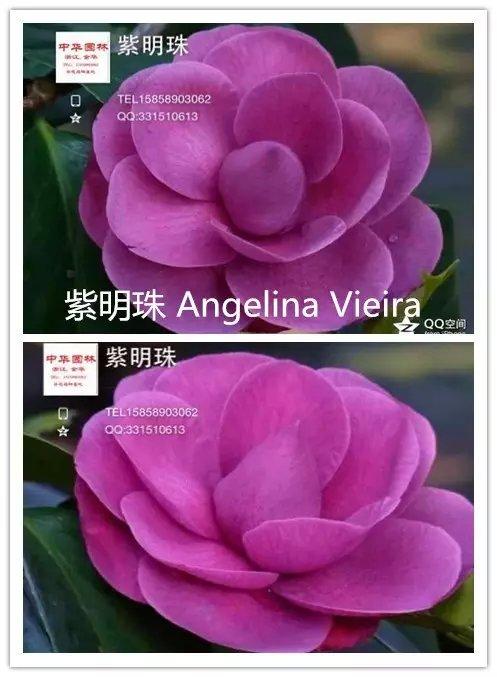 茶花品种-紫明珠-Angelina Vieira
