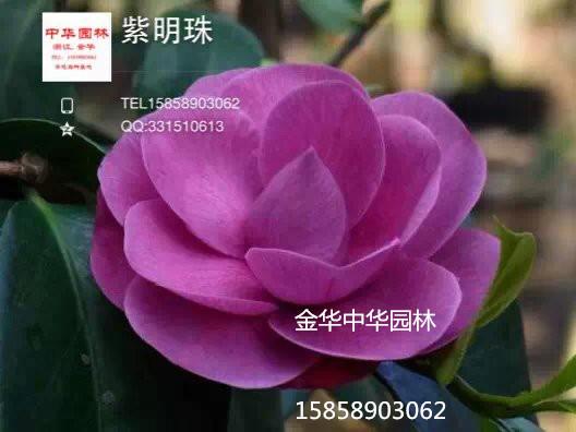紫色茶花-紫明珠