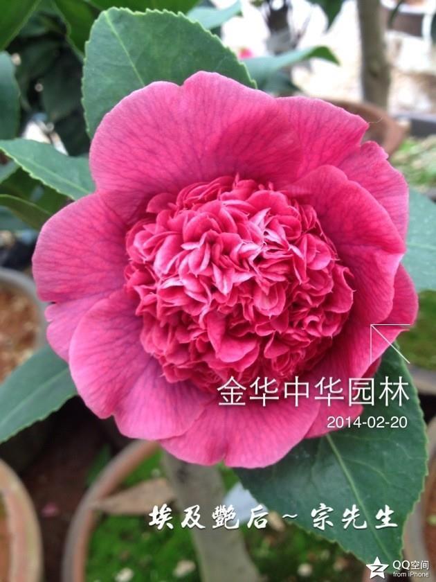 紫色茶花品种—埃及艳后
