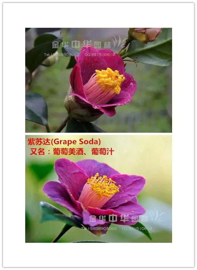 茶花品种-紫苏达Grape Soda-葡萄美酒-葡萄汁