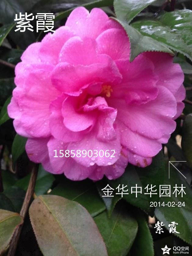 茶花品种—紫霞