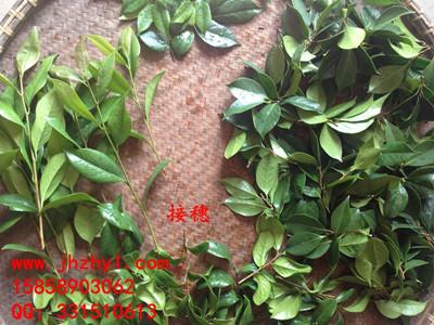 茶花品种接穗 枝条