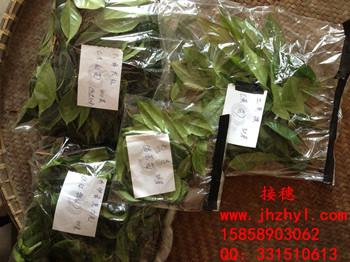茶花嫁接用接穗 茶花品种枝条 嫁接 扦插枝条