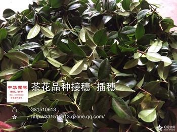 大量出售茶花嫁接接穗 扦插枝条