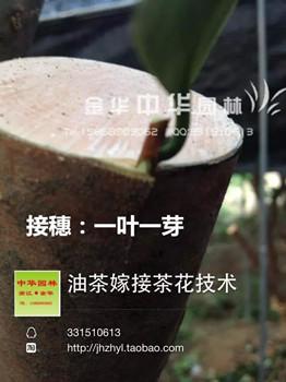 茶花品种接穗枝条出售
