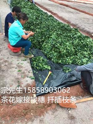 茶花品种接穗枝条批发大量