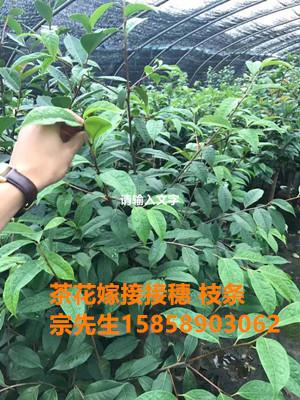 茶花接穗采穗区母本