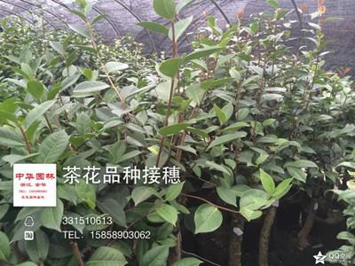茶花扦插用枝条插穗母本区