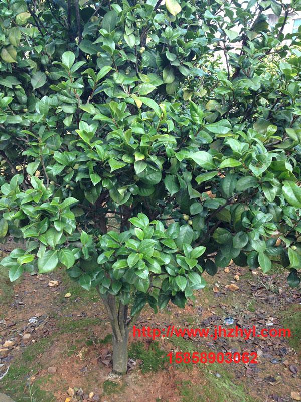 实生茶花树