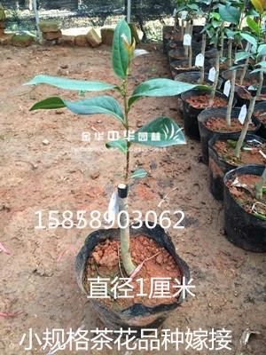 小规格茶花品种嫁接苗
