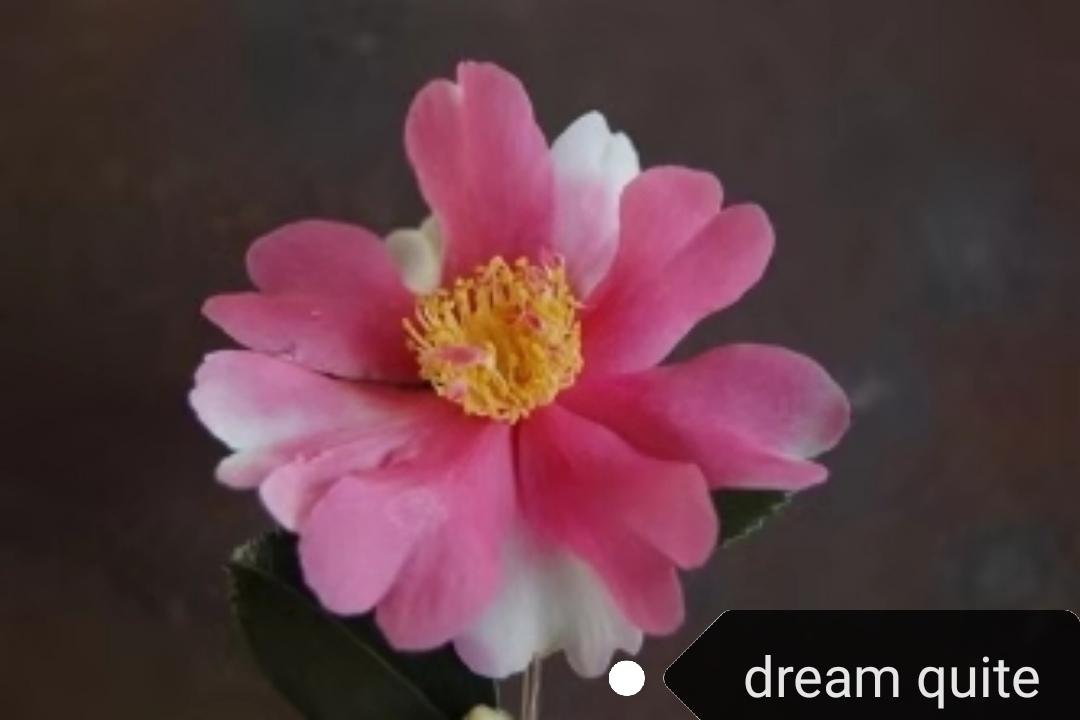 新茶梅 - dreamquite