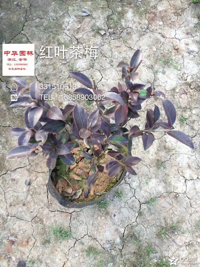 茶梅-红叶茶梅