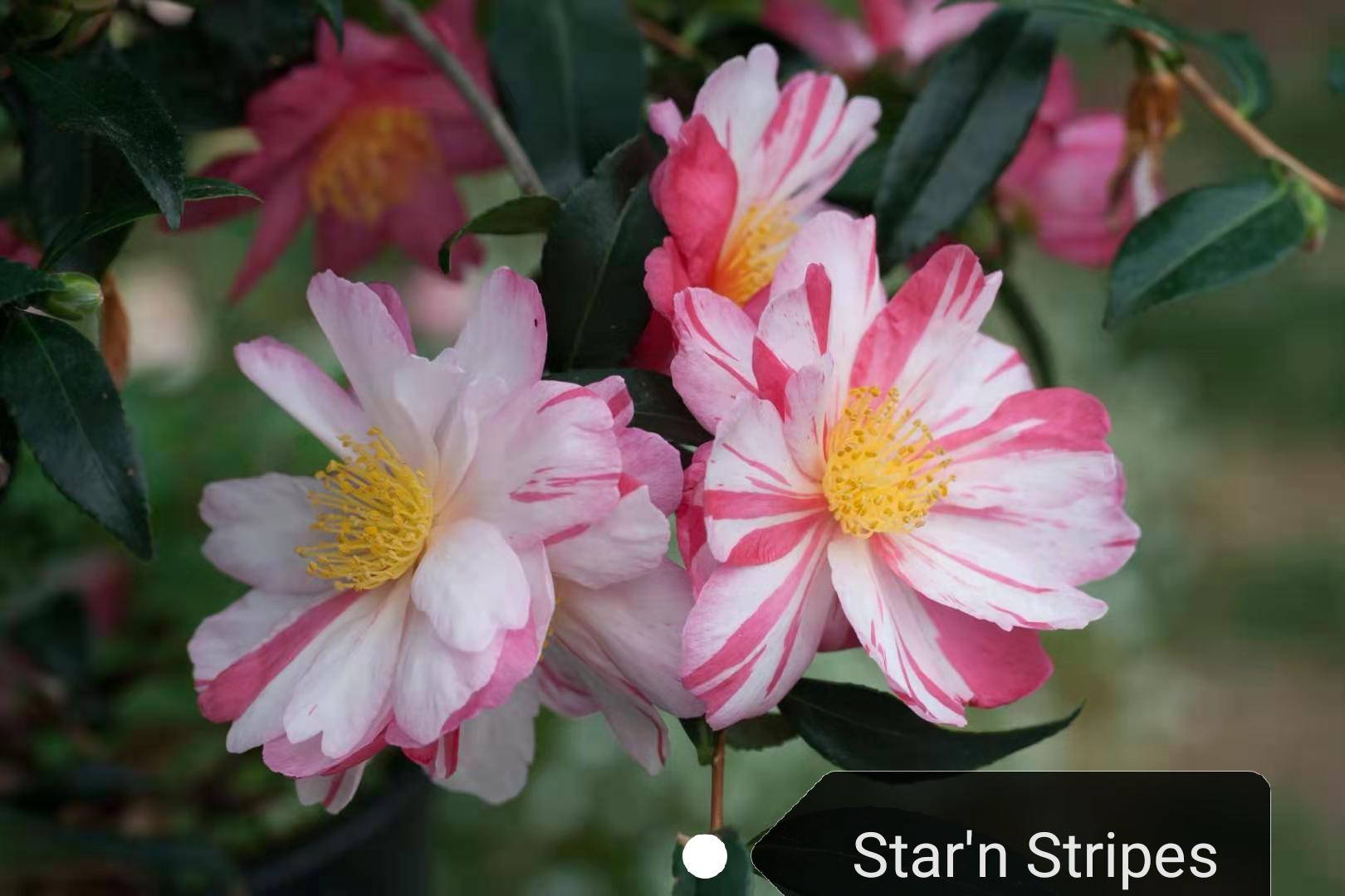 新茶梅 - star'n  sprites