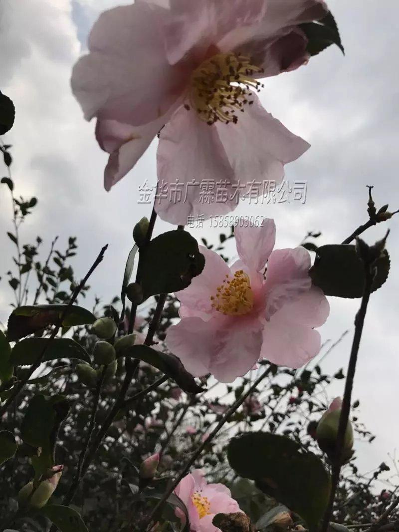 茶花-樱花