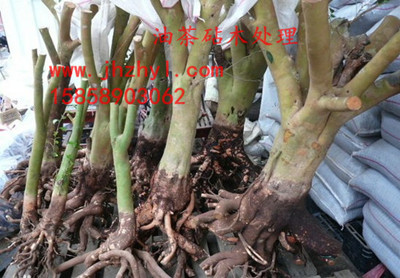 油茶砧木处理