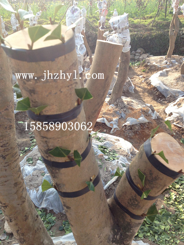 初步嫁接油茶树桩