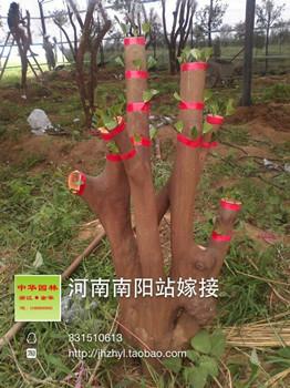 嫁接完成的油茶树桩展示