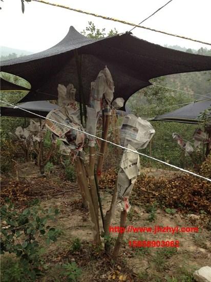 油茶树原地嫁接茶花的遮阴方法以及管理方法