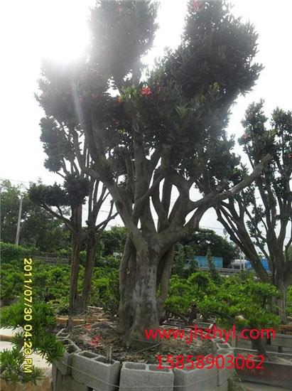 油茶嫁接茶花成型大树展示