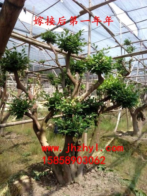 油茶树嫁接茶花 一年的效果图