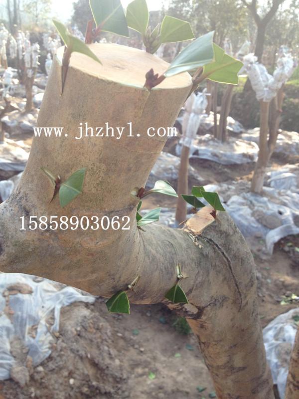 正在嫁接的油茶树桩